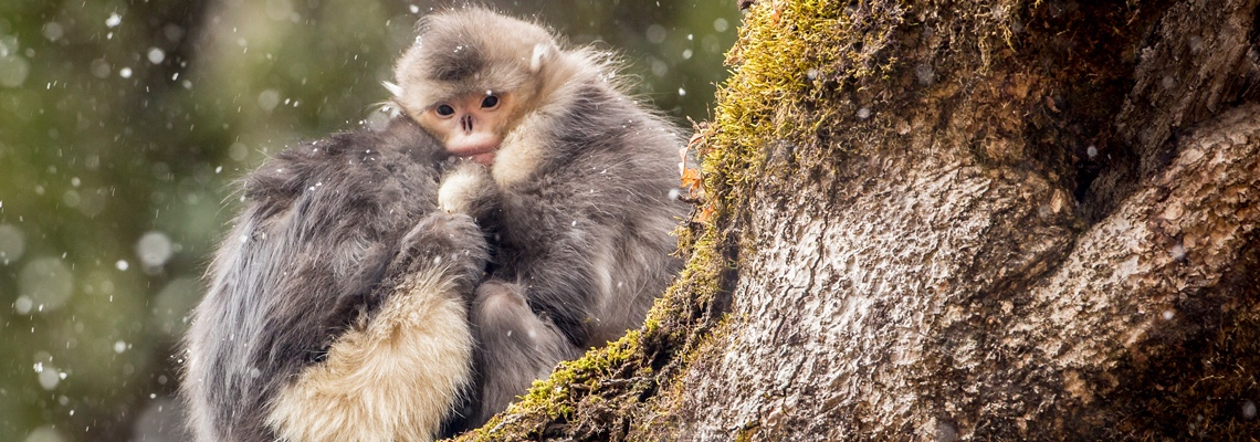 NATURE — Mystery Monkeys of Shangri-La Watch Wednesday, Dec. 19 at 8 p.m. on WCNY