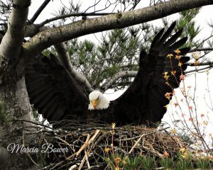 66 Queen of her nest! Marcia Bower Onondaga County