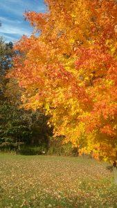 106 Autumn MapleDennis Caso Tompkins County