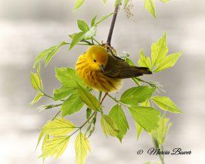 41Wonderful warbler! Marcia Bower  Onondaga County