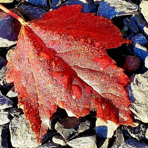 29Dewey maple leaf Kenna Saunders Oswego County