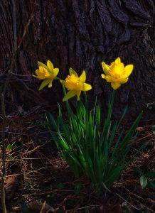 18Sun dabbled daffodilsPeggie Laws Onondaga County