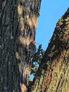 30Red Bellied WoodpeckerRudolf Capek Onondaga