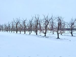 25Young Apple Trees in Winter Elise Finielz Onondaga County