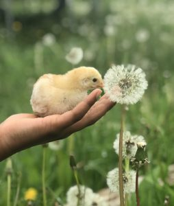 66 Chick WishEvangeline Walters Cortland County
