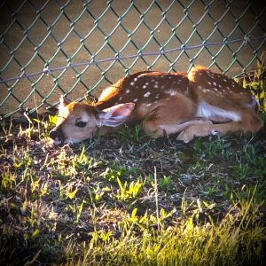 73Sweet little fawn Lisa Sweeting  Herkimer County