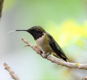 12Hungry HummingbirdCindy Bevan Onondaga County