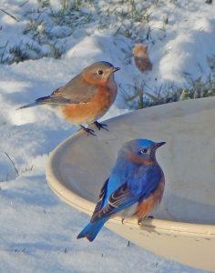 40Winter BluebirdsMarshall HandfieldWayne County