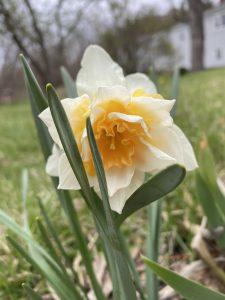53Daffodils mean Spring has sprungElizabeth Handler Onondaga County