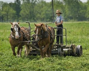39Young Amish boy cutting Hay Wolfgang Tinz  Seneca County