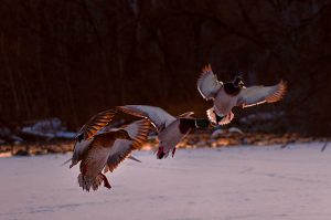 20Ducks on a frozen pondTimothy Kane Onondaga County