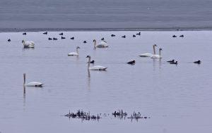 62 Swans on Onondaga LakeAndrew Byrne Onondaga County