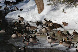 41Ducks on the waterCatherine Faulkner Cayuga County