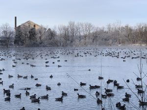 43Ducks on the pondDolores Bochenek Cayuga County