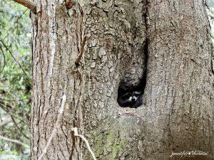95 The Curious RaccoonJen Fabian Onondaga County