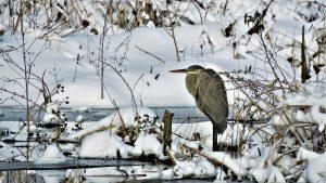 86 Winter HeronJim D'ANGELO Cayuga County