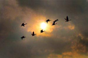 27 Geese at sunset Timothy Kane Onondaga County