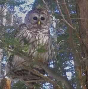 73 Hoot Owl On The HuntHarry Ritzel Onondaga County