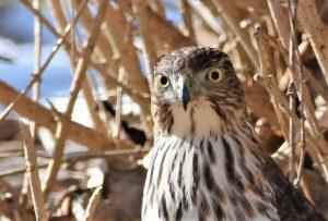 10Hypnotizing HawkCindy Bevan Onondaga County