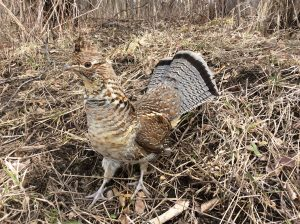 22Ruffed Grouse in SpringTHERESA KOTLARZ Onondaga  County