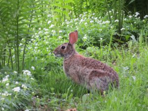 71 Summer Bunny Shannon Bell Cayuga County