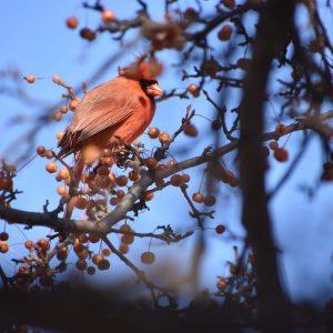 82 Winter CardinalSamantha Russo Onondaga County