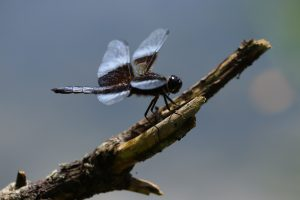 91 Dragonfly in BlueJames Marlowe Onondaga County