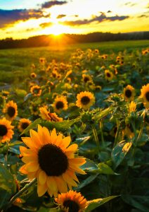 103Sunflowers at sunset Ann Oliver Onondaga County