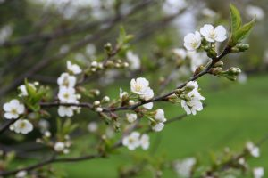 65 Blossoms on a Cherry Tree: The Image of SpringEmily Stedman Onondaga County