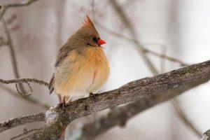 2 Cardinal's Winter CoatLarry Rocco Oneida County
