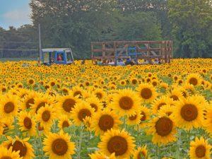 15Ride Through the Sea of SunflowersMarshall Handfield Wayne