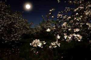 9A quiet night in an apple orchard.Timothy Kane Onondaga  County