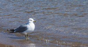 48Seagull in the SunshineSayge Hill Onondaga County