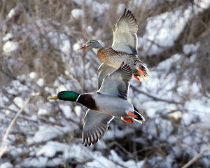 94Webster Pond DucksHerm CardOnondaga County