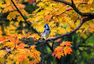 3Blue Jay in AutumnTimothy Kane Onondaga