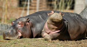 hippopotamus-1232974_1920