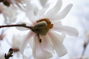 40Magnolia in Early SpringTeri Pelton Cortland County