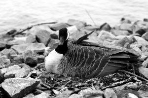39Mother Goose Paul Suskin Onondaga County