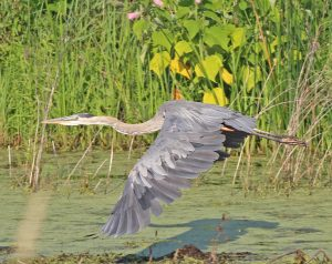 28Blue Heron a Sure Sign of SpringWarren McCormack Cayuga County