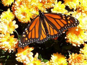 67Fall butterflyLeonora HAZLEWOOD Oneida County