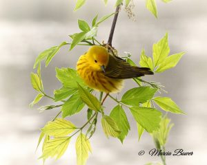 41Wonderful warbler! Marcia Bower  Onondaga County