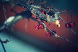 102 Winter Berries Beth McAllister Onondaga County