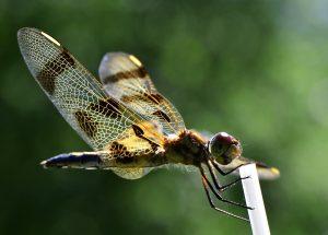 53Dragonfly Michael Nanton Onondaga County