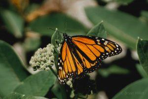 40Resting ButterflyBryan Millet Rosa Jefferson County