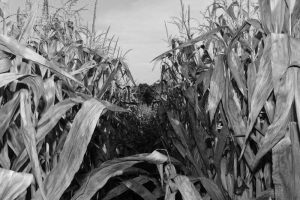 33Walking Through CornSara Mierek Oneida County