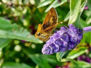 42Backyard ButterflyAngelina Lynch Onondaga County