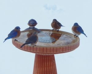 11Bluebirds Return EarlyMarshall Handfield Wayne  County