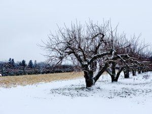 23Apple trees in the snow Elijah Haines  Onondaga County