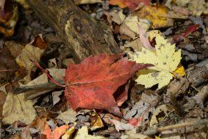 50 Fall Walk in Baltimore WoodsLinda Chapman Onondaga County