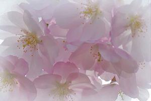 80Spring BlossomsJan Miner Onondaga County